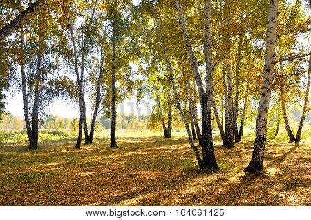 Landscape early autumn. Glade with yellow grass and leaves on the background of autumn birch trees illuminated by the sun and blue sky. West Siberia
