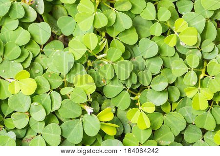 Close up of Three-flower beggarweed (Demodium Triflorum) foliage nature background