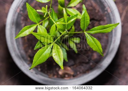 Young Orange Climber (Toddalia asiatica) plant in a plastic planter