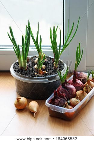 Green onions grown on the windowsill in the house.Next in is dry ripe onions. Containers with bow are on the wooden surface.