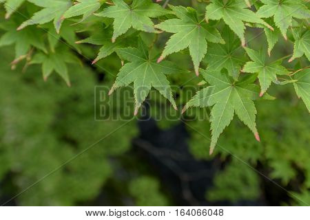 Close-up Fresh green maple leaves ( background )