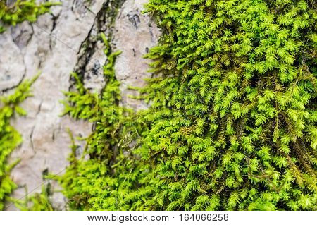 Beautiful green moss and lichen covered timber surface