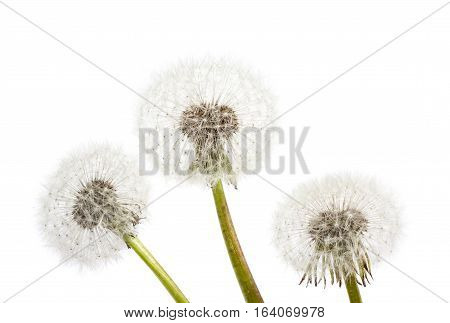 Dandelion On A Blue Background. Air Flower Close-up