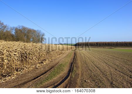 Dry Maize And Larch Woodland