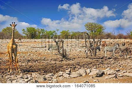 A Giraffe stands looking directly ahead at camera while standing on the Etosha Plains with Zebra in the background, Namibia, Southern Africa