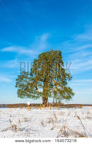 Lonely Ancient 500 Year Old Branched Pine Tree.