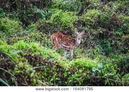 Spotted deer in the green bushes. Chitwan, Nepal