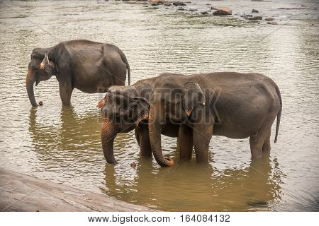 Sri Lanka: group of elephants in drinking and be bathing place, Pinnawala, the largest herd of captive elephants in the world