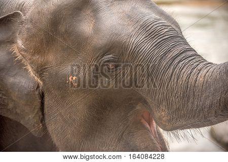 Head of Asian elephant in Pinnawala, Sri Lanka
