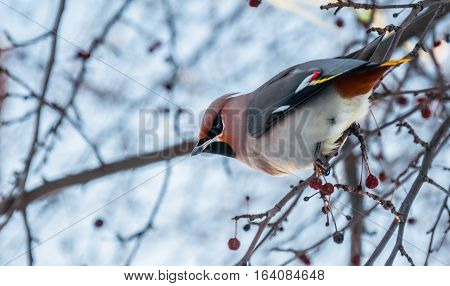 Waxwing sitting on tree branches in winter