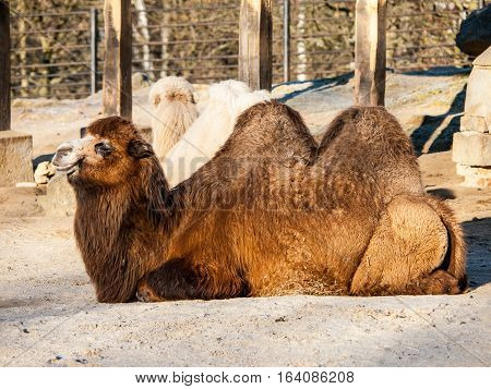 Domestic Bactrian Camel, Camelus bactrianus ferus, with long brown fur lying on the ground, native to the steppes of Central Asia