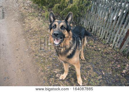 Dog German Shepherd In Village In A Day