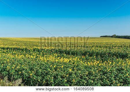 field of blooming sunflowers on a background of blue sky with copy space