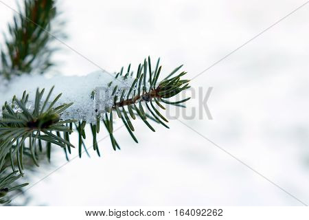 Blue Spruce In The Snow Close Up Of A Branch