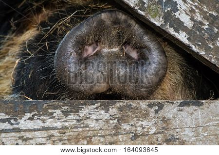 Nose of kunekune pig through wooden gate. An unusual rare breed of small pig showing detail of head