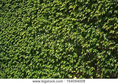 Background made of ivy leaves or hedera on ancient wall