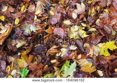Fallen wet leaves on the ground with different colours