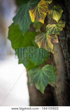 Ivy leaves on the tree in the winter