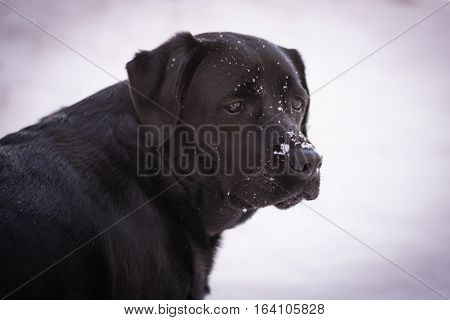 Portrait of black Labrador Retriever looking back in the winter