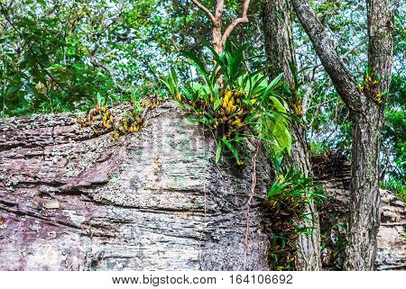 Wild Orchid Growing on Cliff in Forest [Dendrobium]