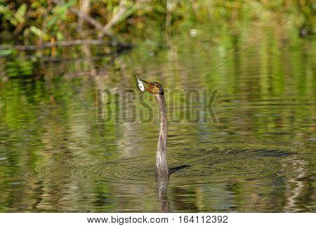 Anhinga (Anhinga anhinga) swimming with fish in its beak