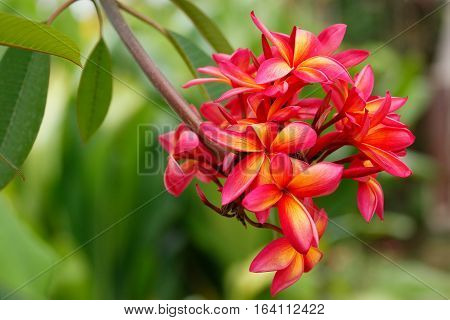 Close-up of Pink plumeria flowers on a tree