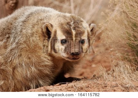 Portrait of American badger (Taxidea taxus). Badgers are short-legged omnivores in the family Mustelidae