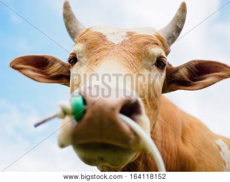 closeup head and focus at eye of brown cow or bull with white and bright blue background