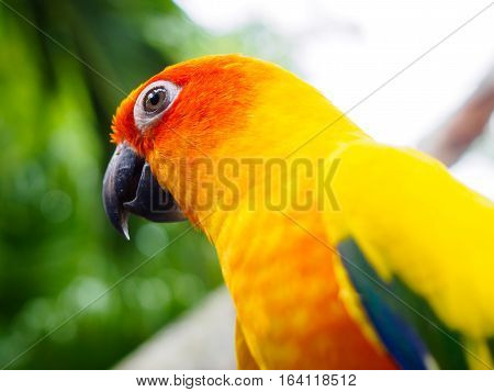 Sun Parakeet or Sun Conure, the beautiful yellow and orange parrot bird with nice feathers details at Songkhla Thailand