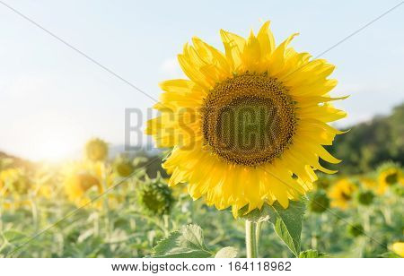 Beautiful Blooming Sunflower In Files