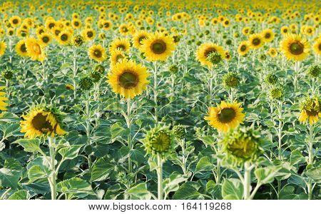 Beautiful Blooming Sunflower Field.