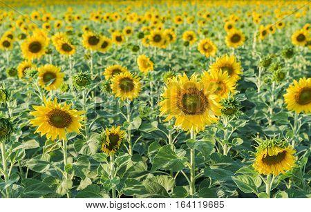 Beautiful Blooming Sunflower Field