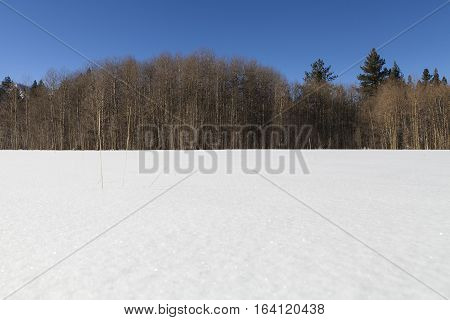 Field Of Clean White Snow With Bare Aspen Treeline. Near Lake Tahoe, Ca