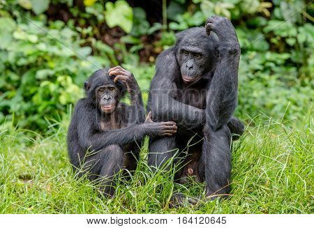 Bonobos In Natural Habitat On Green Natural Background. The Bonobo ( Pan Paniscus), Called The Pygmy