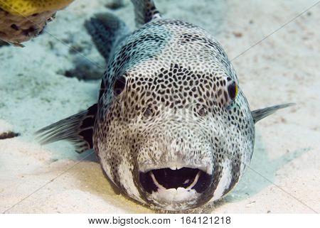 Portrait of a blaskspotted pufferfish, toned image