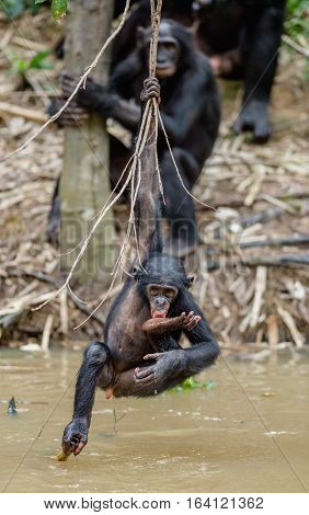 Wild juvenile Bonobo hanging from lianas and drink from pond. Natural habitat. The Bonobo ( Pan paniscus) called the pygmy chimpanzee. Democratic Republic of Congo. Africa