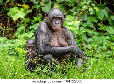 Mother and Cub of Bonobo in natural habitat. Close up Portrait . Green natural background. The Bonobo ( Pan paniscus) called the pygmy chimpanzee. Democratic Republic of Congo. Africa