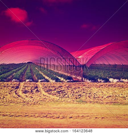 Strawberry Beds inside the Greenhouse in Portugal at Sunset Instagram Effect