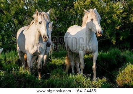 White Camargue Horses in sunset light on the dark green natural background.