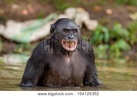 Chimpanzee Bonobo In The Water With Pleasure And Smiles. Bonobo Standing In Water Looks For The Frui