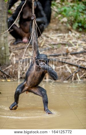 Wild Juvenile Bonobo Hanging From Lianas And Drink From Pond. Natural Habitat. The Bonobo ( Pan Pani