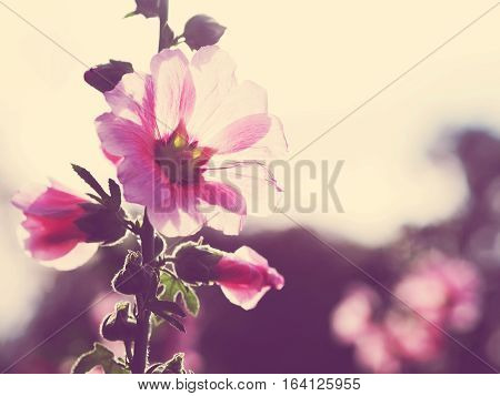 Close up beautiful pink hollyhock flowers at sunset vintage filter effect.