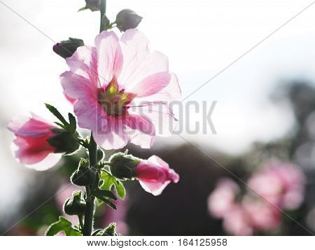 Close up beautiful pink hollyhock flowers at sunset