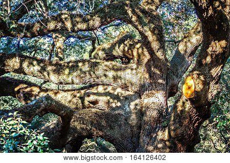 Large southern live Angel Oak Tree on John's Island South Carolina charleston