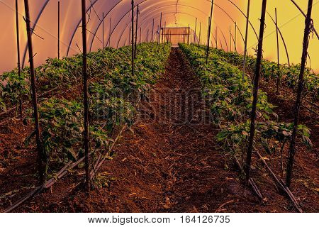 Cultivation of peppers in a commercial greenhouse in Israel at Sunset
