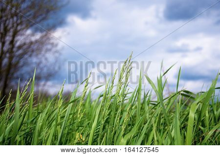 spring green grass on a background cloudy sky