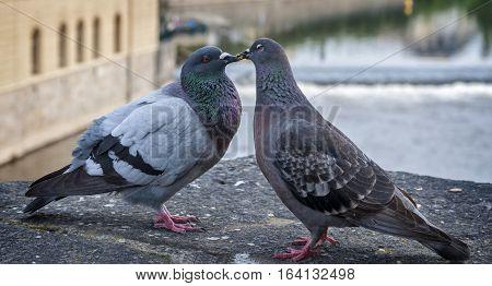 Czech Republic Prague . Pigeons kissing sitting on the parapet of Charles Bridge over the Vltava River .