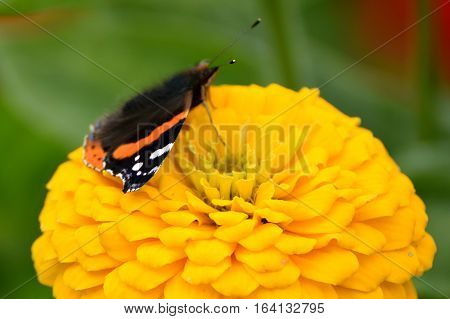 Red admiral butterfly (Vanessa atalanta) with yellow flower.