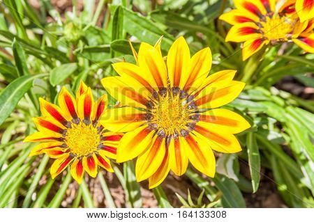 Colorful flower in the garden yellow gazania and red striped petal with natural blurred background.