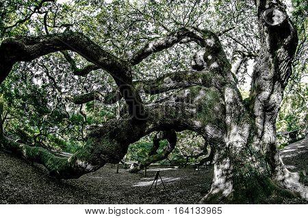 Angel Oak Tree on John's Island South Carolina